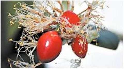 Зреющие плоды и хорошо заметные среди них неоплодотворенные цветки соцветия