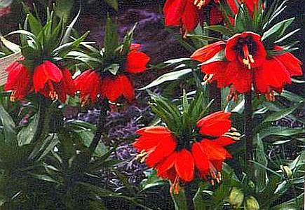 Посадка и уход за цветами рябчиками в открытом грунте