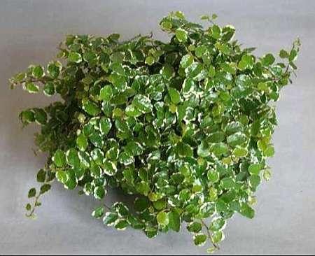 Фикус ползучий (Ficus pumila) Sonny