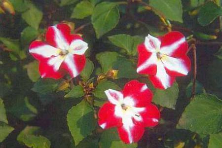 Цветок Ванька мокрый бальзамин