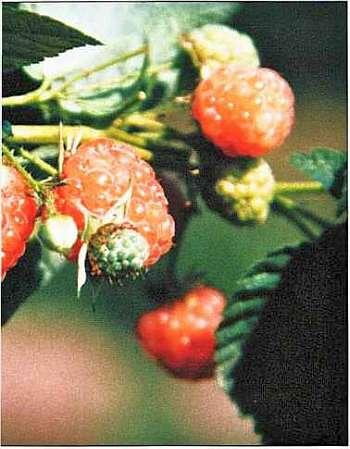 Сорт малины Беглянка