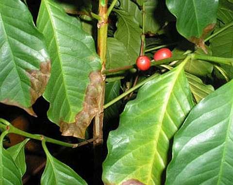 Болезни кофейного дерева - подсыхание листьев