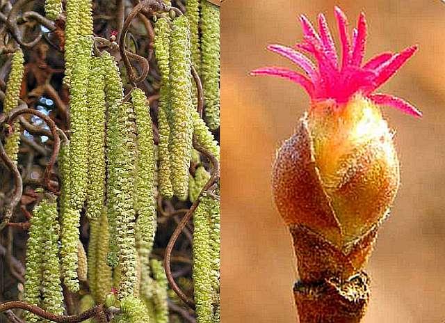Цветы фундука - сережки (мужские) , справа - женские