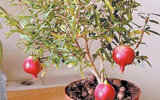 Плодоносящее деревце граната