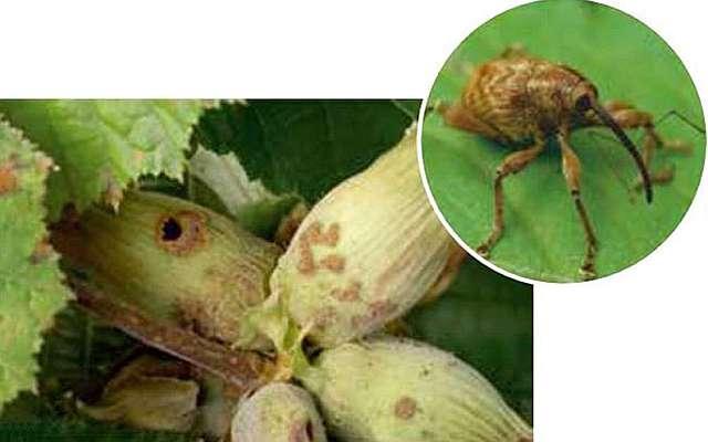 Основной вредитель орешника - это ореховый долгоносик