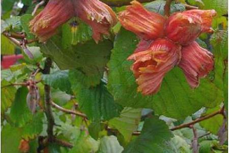 Фундук выращивание в саду, посадка и уход