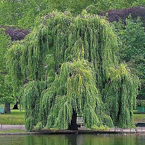 Ива золотистоволосистая «крисокома» ( Salix x sepulcralis 'Chrysocoma')