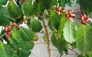 Плоды кофе - зерна