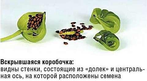 Вскрывшаяся коробочка с семенами