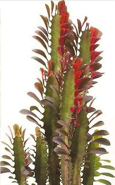 Молочай треугольный, или трехгранный (Euphorbia triangularis)