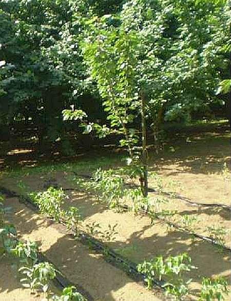 Для более эффективного использования участка в первые 5 лет в междурядьях можно выращивать различные овощные или ягодные культуры