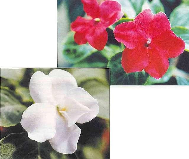 Разновидности цветка Ванька мокрый