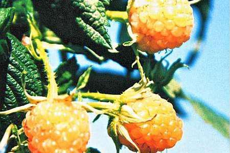 Желтая малина, лучшие сорта, особенности ухода