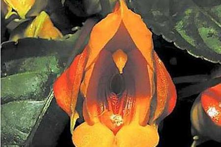 Цветок золотистого бальзамина