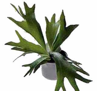 Platycerium Платицериум