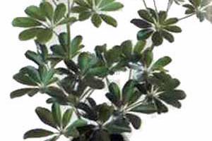 Schefflera actinophylla Шеффлера звездчатолистная