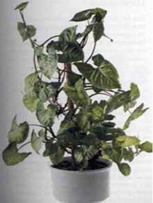 Сингониум (Sygnonium)
